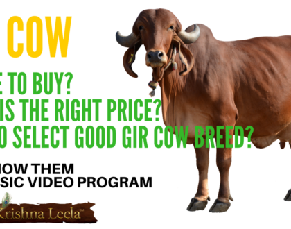 Gir Cow - Where to Buy? Right Price? Tips to Select