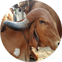 Gir cow high milk yielding cow breed