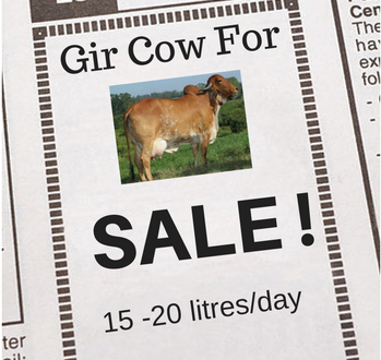 Gir Cow Sale - News Add