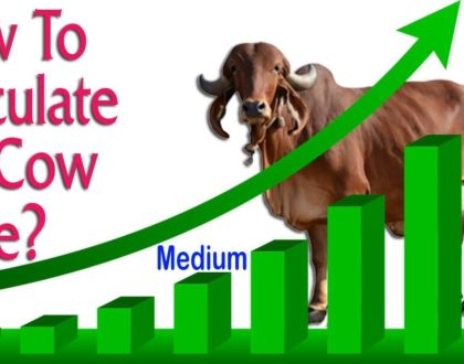 How to Calculate Gir Cow Price? | Gir Cow Price in Gujarat