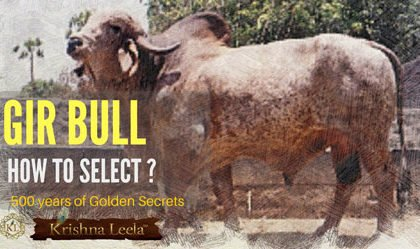 Gir Bull Selection - Maldhari Golden Secrets
