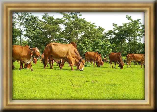 GIR COW NATURAL OPEN GRAZING