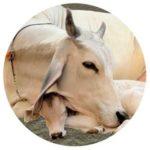 Healthy Cow Ear Position